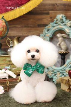 Dog Grooming. Dog Grooming Styles, Poodle Grooming, Pet Grooming, Grooming Shop, Cortes Poodle, Poodle Cuts, Creative Grooming, Teddy Bear Dog, Dog Haircuts