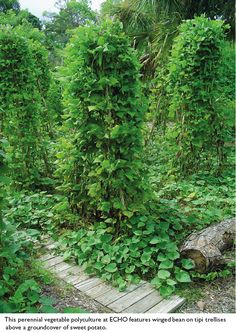 Permaculture and Perennial Polycultures: Trellised beans underplanted with sweet potatoes