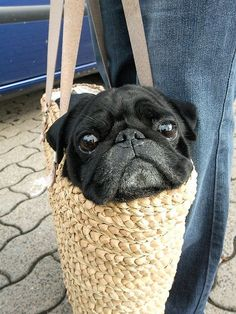 Pug in purse