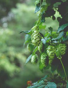 Hops Art Print, Woodland Art, Rustic Home Decor, Kitchen Wall Art, Fine Art Photography, Green Print, Craft Beer Art, Brewery Art, Country