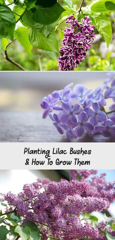 How To Plant & Grow Lilac Bushes! - Learn all about planting lilac bushes, how to care for them, when to prune them, and our favorite lilac varieties. Lilac Varieties, Planting, Gardening, Lilac Bushes, All About Plants, Family Garden, Herb Garden, Spring Flowers, Garden Landscaping