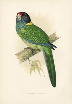 W.T. Greene Antique Parrot Prints 1884