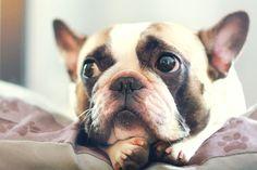French Bulldog pros and cons • French Bulldog puppy for sale, French Bulldog for SALE