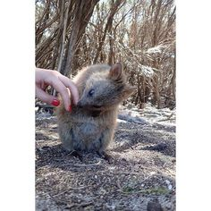 Quokka  #love #happy #quokka #rottnest #island #perth #wa #oz #australia #rottnestisland #valentines by nancy_perkins http://ift.tt/1L5GqLp