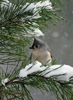 Titmouse on snowy branch. I love these darling little birds; they travel in small groups of about 8-10, talking to each other in peeps & eating seeds and tiny insects off of branches. The only thing that makes me sad about them is that they don't stay in my yard where I would adore them & enjoy their company always & feed them Nyger seeds as much as they want. Instead, they are forever traveling & only drop by my place for a visit every few months or so... ...  :-(
