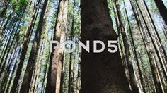 Video footage. Pond5.com. Trunks of pines in the wood.    #background #bark #beautiful #beauty #canopy #cedar #countryside #destination #environment #fern #foliage #forest #green #greenery #habitat #hill #horizontal #landscape #moss #mossy #mountain #natural #nature #nobody #northwest #olympic #outback #outdoor #park #peaceful #pine #plants #rain #rain-forest #rainforest #recreation #scenery #scenic #slider #specie #stone #timber #trail #tree #tropical #wild #wilderness #wood #wooden  #Video…