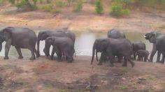 | Africam Elephant breeding herd at Idube this morning - Nov 18 2015 - 7:06am