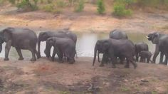 | Africam Elephant breeding herd at Idube this morning - Nov 18 2015 - 7:06am