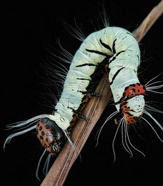 Moth Caterpillar Beetle Insect, Insect Art, Cool Insects, Bugs And Insects, Beautiful Bugs, Beautiful Butterflies, Caterpillar Insect, Tier Fotos, Chenille