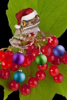 Una rana arbor cola de ojos grandes tiene el sombrero de Pap Noel y es un arbusto de bayas decoraci  Foto de archivo