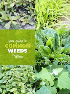 Don't let weeds rob your garden of its beauty. Use our guide to help you identify and control these troublesome pests.