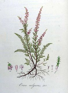Heather - (Calluna vulgaris (L.) Hull)