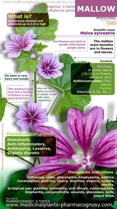 Mallow benefits (Malva). Infographic. Summary of the general characteristics of the Mallow plant. Medicinal properties, benefits and uses more common of Malva Sylvestris.  Pharmacognosy - Medicinal plants - Herbs.  http://www.medicinalplants-pharmacognosy.com/herbs-medicinal-plants/mallow-malva-sylvestris/benefits-infographic/