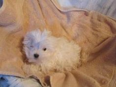 ASOLUTELY DARLING, BABYDOLL FACE! is an adoptable Maltese Dog in Woodsfield, OH. MALTESE FEMALE 12WEEKS-TEENIE TINY-SWEET AS CAN BE!!!! SPAYED/1EYE REMOVED/TATOOED/MICROCHIPPED  ADOPTION FEE $450.00  ...