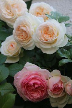 ~White Pierre de Ronsard and Pierre de Ronsard roses