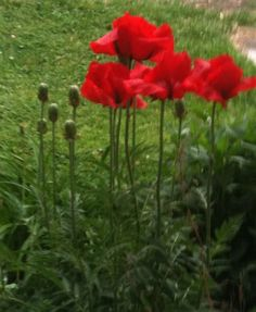 Need red poppies in my yard.