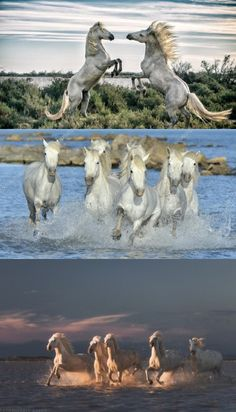 Stunning Images Of Mega-Rare Camargue Horses Racing Through The Ocean Are A Must-See #horse #horses #stunning #images