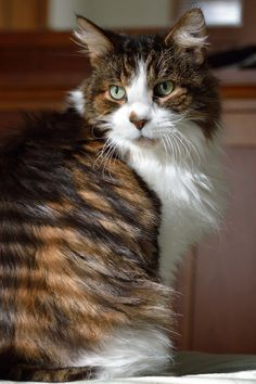 Earl, a Beautiful Maine Coon Cat - Just Look at those Stripes!