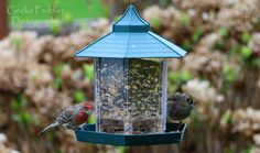 Red House Finch and Golden-Crested Sparrow at our feeder. One of the first pictures taken with my new Canon 70D and through our family room window.