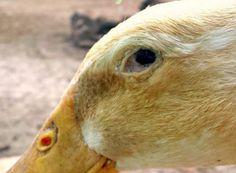 duck-diseases Backyard Ducks, Backyard Poultry, Chickens Backyard, Coyote Hunting, Pheasant Hunting, Archery Hunting, Raising Ducks, Raising Chickens, Duck Pens
