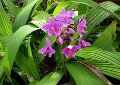 https://flic.kr/p/dxsyBB | Spathoglottis plicata | Philippine Ground Orchid Orchidaceae Native to tropical and subtropical Asia; naturalized in the Hawaiian Islands on most of the Main Islands of Kauaʻi, Oʻahu, Molokaʻi, Lānaʻi, Maui and Hawaiʻi Island.  Oʻahu, Hawaii, USA. These terrestrial orchids pop up here and there in Hawaii landscape. They are not native to the Hawaiian Islands.  a volunteer as is o
