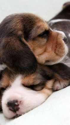 Are you interested in a Beagle? Well, the Beagle is one of the few popular dogs that will adapt much faster to any home. Whether you have a large family, p Cute Puppies, Cute Dogs, Dogs And Puppies, Animals And Pets, Baby Animals, Cute Animals, I Love Dogs, Puppy Love, Amor Animal