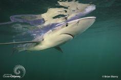 Blue Shark ... aka The Torpedo!!