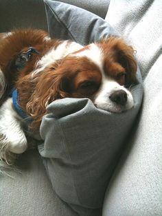 Sleepy Molly, my cavalier king charles spaniel.