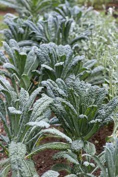 If your kale is wilting and has lumpy, swollen roots, it may have the fungal disease clubroot, and you should avoid planting that area again for at least 7 years. | Photo: John Gruen | thisoldhouse.com