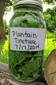 How to make plantain tincture and a link to great general info on tinctures and dosing.