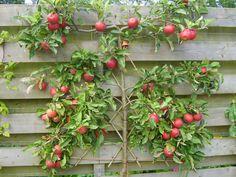 Appel geleide boom. Bespaart een hoop ruimte, ideaal tegen de schutting…