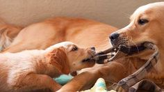 #Puppy Tug of War.  http://www.pupprotector.com/