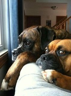 boxers---they look so sad--like they've been grounded & everybody else is outside playing