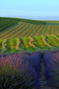 Blue Mountain Lavender Farm, Walla Walla, WA - one of my favorite places to visit in the summer!  Beautiful to see & smell!