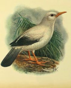 white bird - necropsar rodericanus..unfortunately this bird is now extinct..picture comes from a book of extinct birds and is in the public domain...more information at this site!