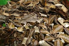 Image result for gaboon viper