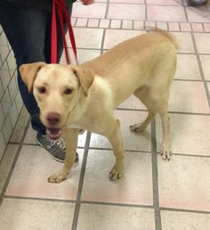 Meet Cleveland, an adoptable Labrador Retriever looking for a forever home. If you're looking for a new pet to adopt or want information on how to get involved with adoptable pets, Petfinder.com is a great resource.
