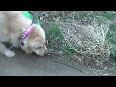 お泊り犬、朝夕のお散歩(わんわん柏)