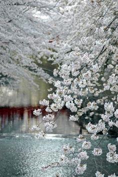 Meguro River in Spring . Tokyo Japan