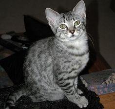 Egyptian Tiger Cat