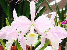 Orquídea Cattleya warneri, forma concolor 'Santa Tereza' N.S. com 1 haste e 3 flores, exposta na JAOS Orchid Show 2013 em Toshima-ku, Tóquio, Japão. Por ser própria da região Sudeste do Brasil, com comportamento climático mais ou menos estável, a espécie pode alcançar bons índices de crescimento. Encontrando ambiente mais propício em árvores ou arbustos, que conservam mais umidade em seus galhos, seu desenvolvimento se agiganta, podendo surgir plantas de grande porte.  Fotografia…