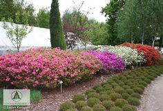 Rhododendron   - Azalie japońskie i inne -
