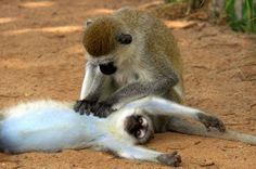NG - Macacos-vervet (Chlorocebus pygerythrus)