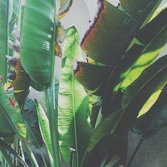 #bananatree #palms #dubai