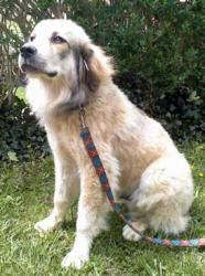 Gunner is an adoptable Great Pyrenees Dog in Eagle Rock, VA. Young Gunner is a blend of Great Pyrenees and Bluetick Coonhound.  Characteristics of both parents make him very devoted to his family livi...