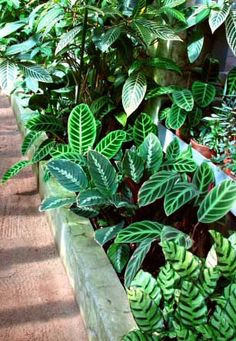 For Calathea to thrive as house plants, high humidity, temperatures and lots of water is needed. mine is Calathea leopardina Plant Life, Calathea Plant, Greenhouse Growing, Foliage Plants, Peacock Plant, Plants, Planting Flowers, Large Plants, Tropical Landscaping