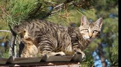 "American Bobtail Cat  The American Bobtail Cat is an uncommon breed of domestic cat which was developed in the late 1960s. It is most notable for its stubby ""bobbed"" tail about one-third to one-half the length of a normal cat's tail.  #American #Bobtail #Cat #Breed #AmericanBobtail #BobtailCat #AmericanBobtailCat #AmericanCat"
