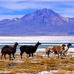Le désert d'Atacama au Chili Le plus aride des déserts Le désert de l'Atacama, en bordure du littoral, est un véritable paysage lunaire : il est parsemé de lagunes et de lacs, de vallées, de cratères, de sources chaudes et de salines. Le désert abrite majoritairement une faune de flamands roses et d'animaux de la famille des camélidés (lamas, alpagas, guanacos et vigognes).