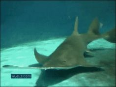 SAW SHARKS, have long blade-like snouts edged with teeth, which they use to…