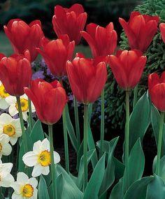 darwin hybrid tulip lighting sun tulip outside pinterest sun